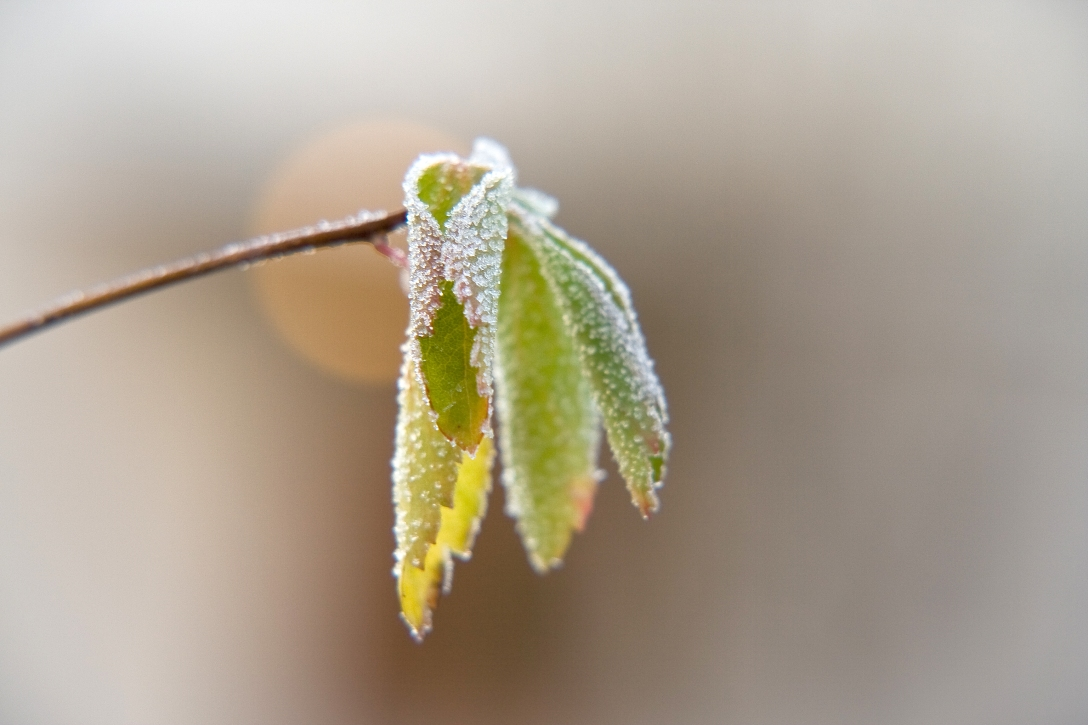 A frozen leaf