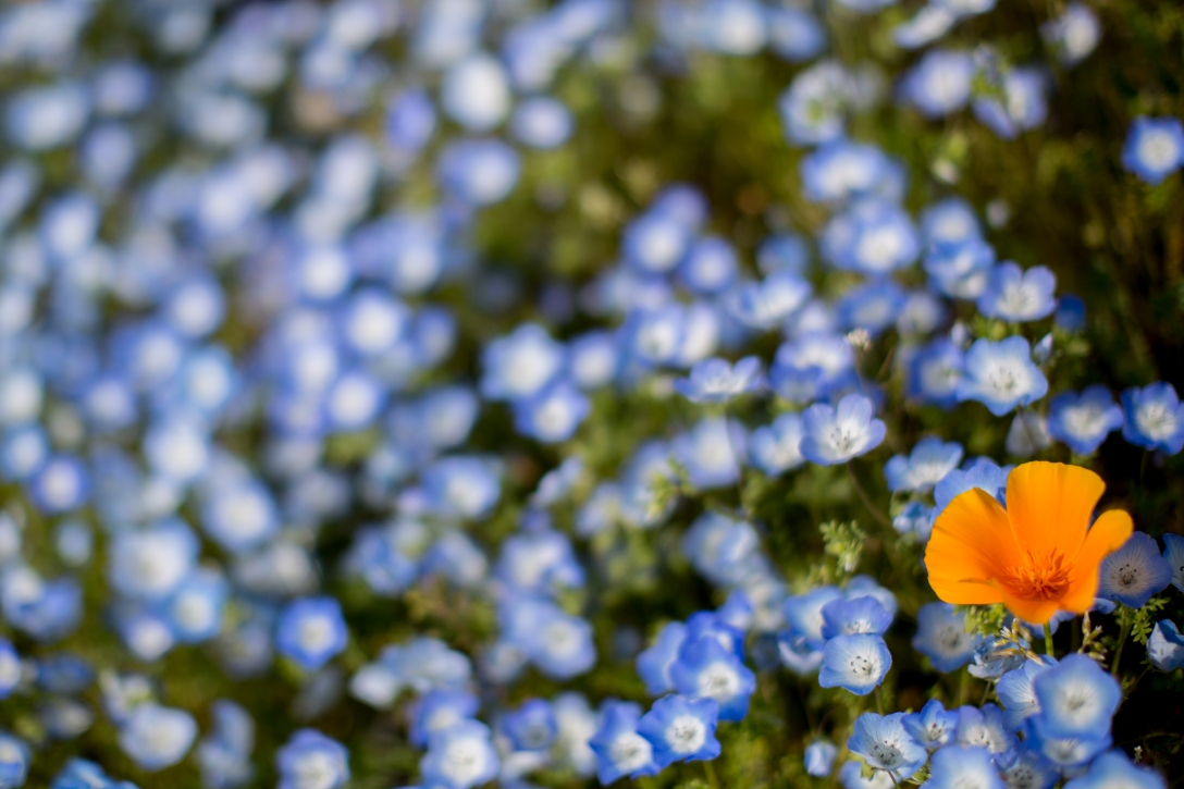 A single orange flower in a sea of blue and white.