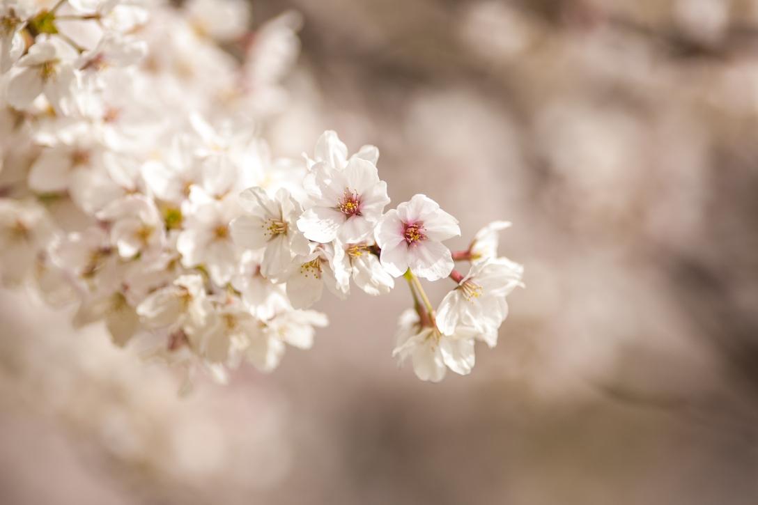 Cherry Blossoms, Osaka, Japan